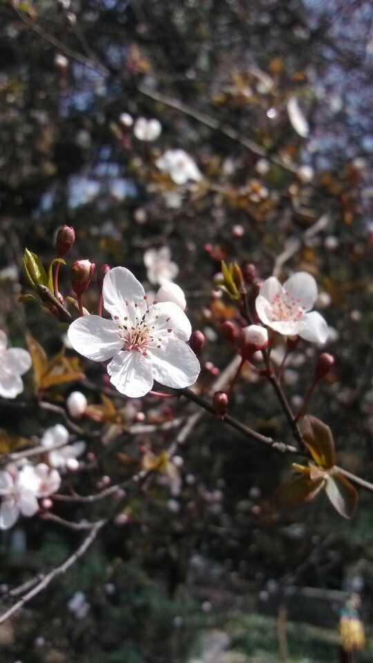 武汉大学的樱花!虽然只有星星点点的开花...