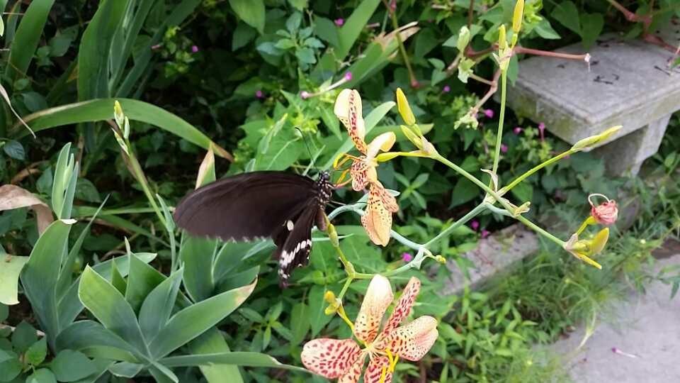 昨天钓鱼拍到的黑蝴蝶!