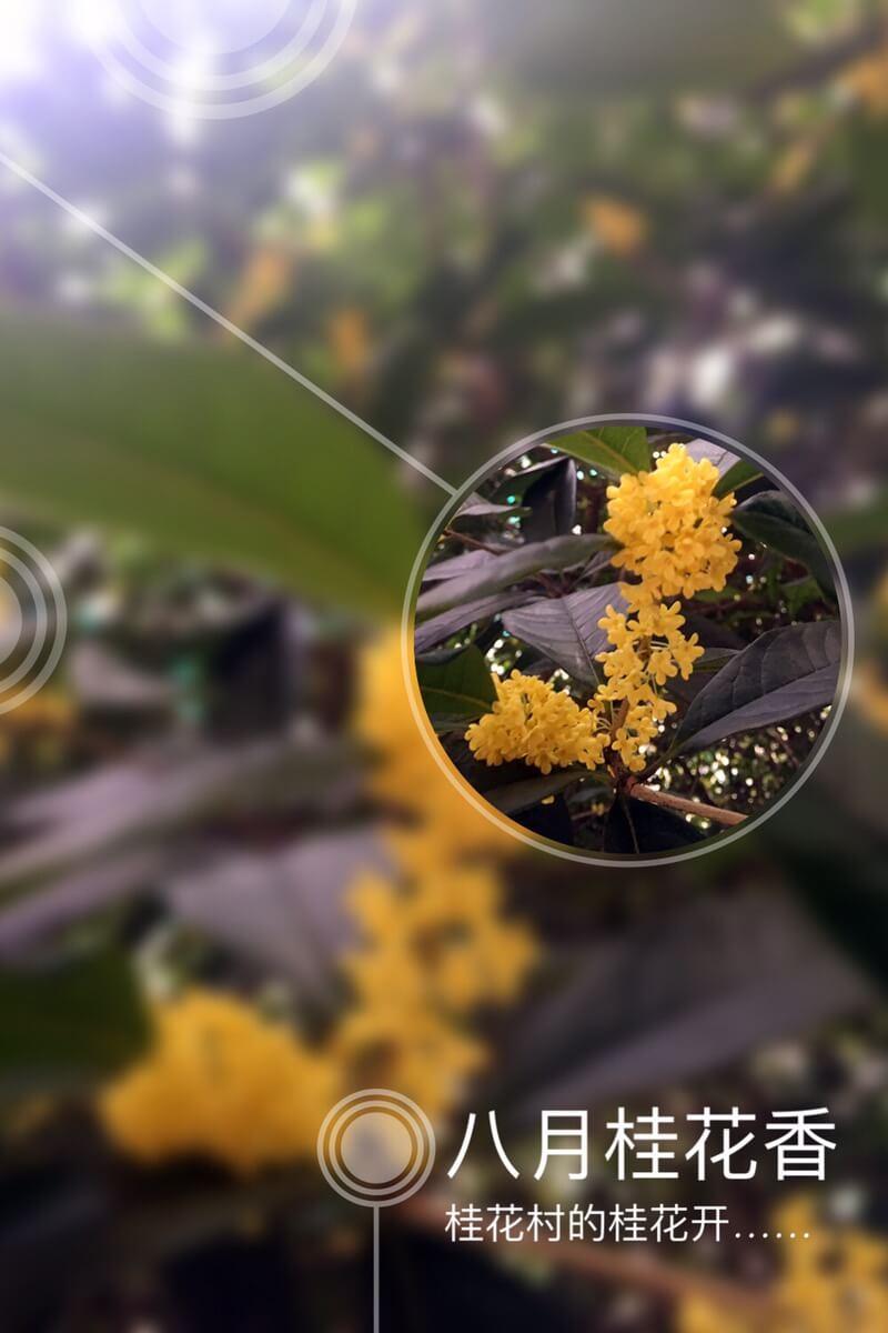 桂花村的桂花是最香的!桂花村也因此得名!